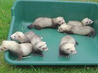 5 Females 2 Male Ferrets for Sale