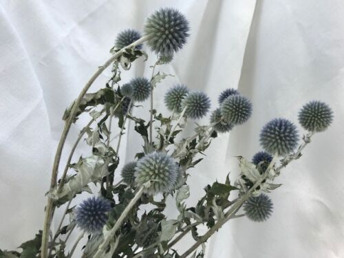 DRIED FLOWERS NATURAL BLUE BALL GLOBE THISTLE ECHINOPS FLOWER FLORAL