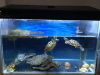 2 x Beautiful Aqua Turtles with full setup (Aquarium, Filter, Thermo, Magnets & more) - All for £130