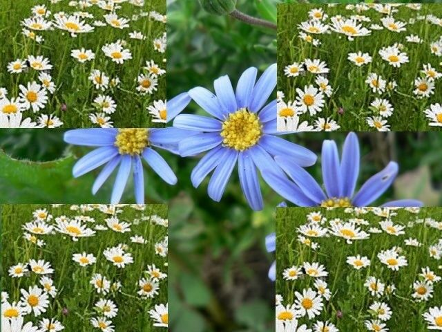 Roman or German Chamomile Essential Oil 100% .Uncut or dilut