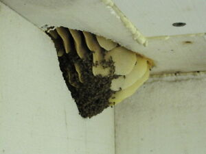 Honey Bee Rescue and Removal - Swarm Rescue Kitchener / Waterloo Kitchener Area image 6