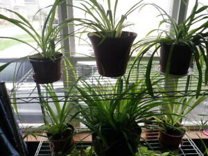 MAture Spyder plants ( with babies )