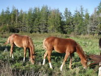 Two colt  for sale 650$ for the two