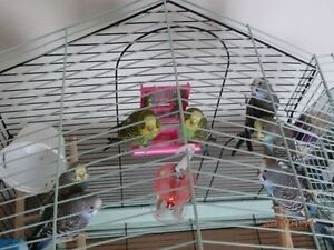 3 budgies for sale with food cage and accessories