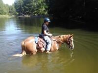 Royal Canadian Trail Horses Information protecting Gaited Horse