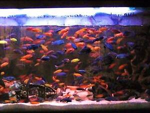 African Cichlids +you will receive bonus- 20 different fish speci Fairfield Fairfield Area Preview