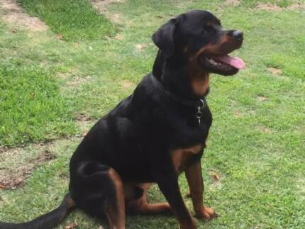 Rottweiler (male) - 17mths old
