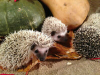 Baby Hedgehogs Available!