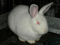 New Zealand/Californian Cross Rabbits