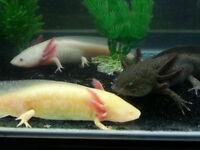 axolotl pour aquarium / terrarium. Plus original qu'un poisson !
