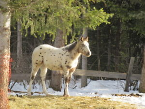 ApHCC 2018 LEOPARD COLT WITH 2 BLUE EYES