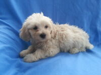 Beautiful Cavachan Puppy for sale from Pedigree Bichon Frise Father and King Charles Mother puppies