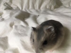 Baby Hamsters to Give Away
