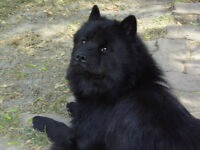 Chow Chow Black Male Puppy only 1 Left
