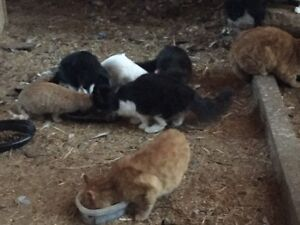 Free Barn Cats - some wilder, some tame - great mousers