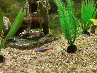 Cardinal Tetra Fish - free to a good home