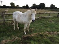 Frosty Welsh Mountain pony - Free to good home!