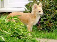 6 Year old Female Chihuahua