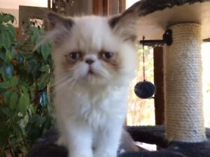 PUREBRED COLOUR POINTED PERSIAN KITTENS