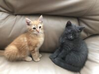 Cross Maine Coon kittens ready for a new home