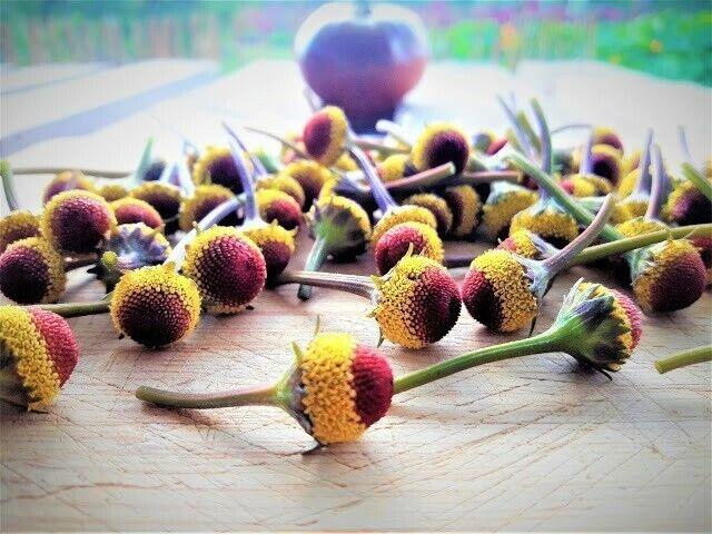 60 individual FRESH EDIBLE: Szechuan flowers-Buzz Buttons-Spilanthes Flowers.