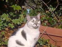 REWARD if found!! MISSING white with grey tabby spots cat missing from Putney Vale