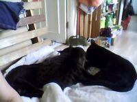 Delightful black female kittens