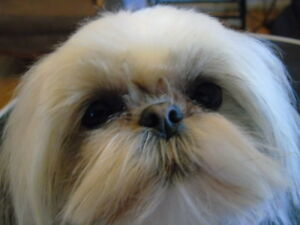 ~ Retiring /Young Small Adult Shih Tzu available ! ~