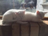 White kittens for sale! Rare and beautiful, 2 females