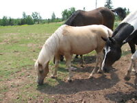15 year old pony mare and optional filly
