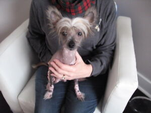 Velcro Sweetheart - Chinese Crested Purebred