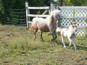 Exposed Miniature Appaloosa Mare For Sale