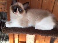 Ragdoll Bi Colour Girl, kitten