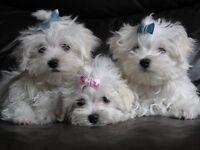 Stunning KC Reg Maltese Puppy