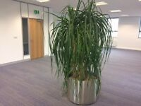Free Large House Plant for Office / Meeting Room - TADCASTER