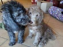 Bedlington Terrier Pups For Sale, Needing Very Special Homes Walkerville Walkerville Area Preview