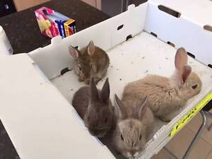 Adorable Rabbits Revesby Heights Bankstown Area Preview