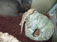 Healthy male Pictus gecko with accessories for sale