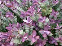 3 Pack (9cm Pots) Hebe Red Edge Garden, Edging & Container Shrub Lilac Blue - growon shrubs - ebay.co.uk