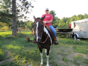 Horse For sale Registered Tabaino brown Mare