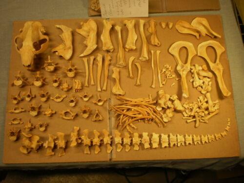 Taxidermy skeleton Beaver (Castor canadensis) dissarticulated sorted HUGE