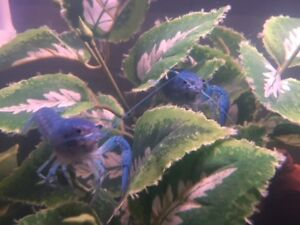 ELECTRIC BLUE BABY LOBSTER ( 1 FOR $10 OR 3 FOR $20 )
