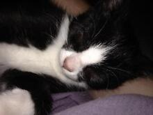 Special little boy kitten saved from kill list Ivanhoe Banyule Area Preview