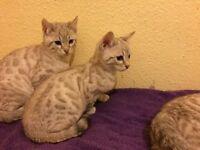 Stunning Pedigree Snow Bengal Kittens for Sale