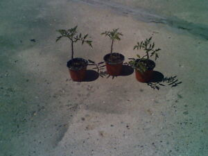 Manitoba Tomato Plants that need to be planted