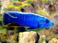 2 electric blue Malawi Cichlids