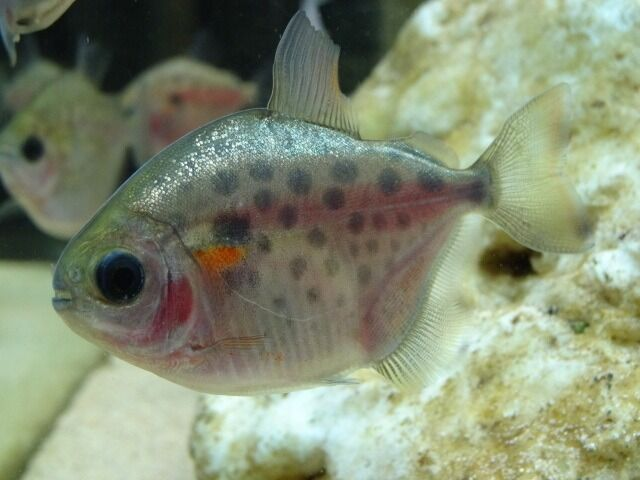 Spotted silver dollar fish 3 4 cm size in for Silver dollar fish for sale