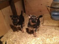 2 male Miniature Australian Shepherd Puppies