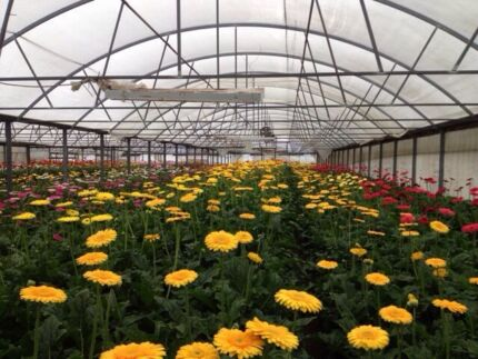 Hydroponic Cut Flowers Heatherton Kingston Area Preview