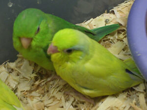 HAND RAISED BABY SMALL PARROT & CAGE